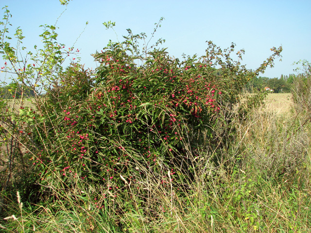 Spindle tree (Euonymus europaeus)