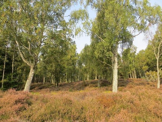 Birch woods, Insh