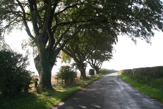 Old beech trees on minor road to B1225  north of Stainton le Vale