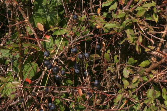 Sloes in a hedge on the corner of the B1225
