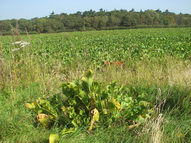 Sugar beet crop field beside Long Lane
