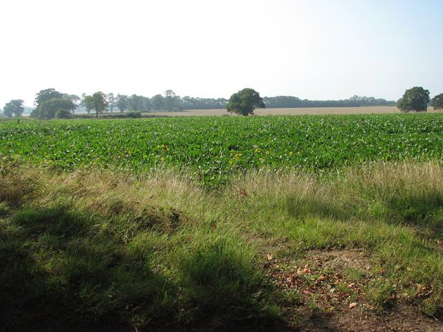 Sugar beet crop by The Grange