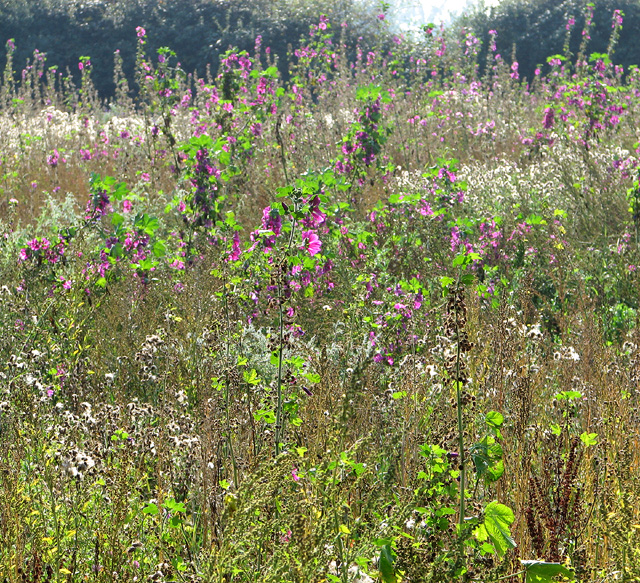 Wild flowers in field south of Long Lane