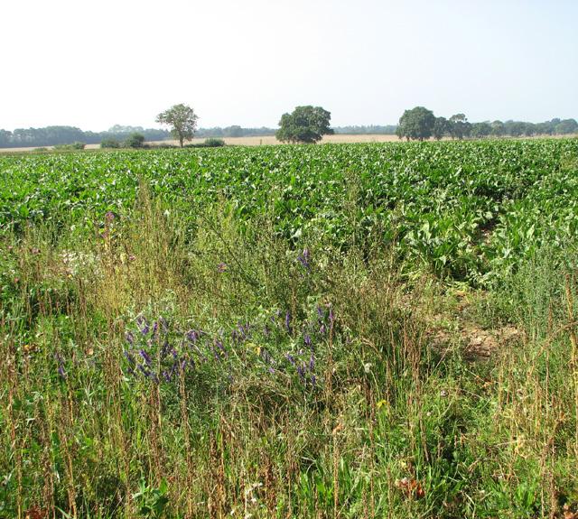 Sugar beet crop field south of Long Lane