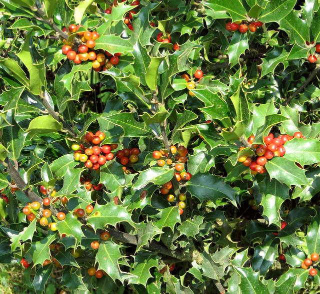 Common holly (Ilex aquifolium)  with berries