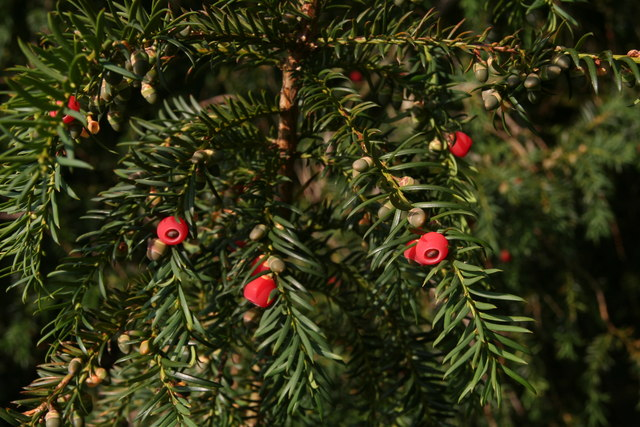English Yew on the drive to Otby House