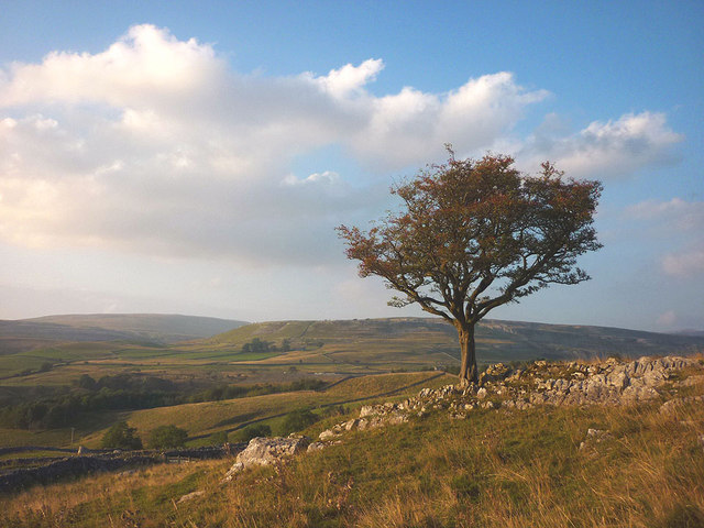 Hawthorn tree at Skirwith