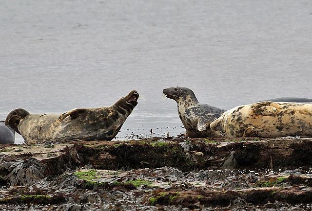 Seals at Portgordon