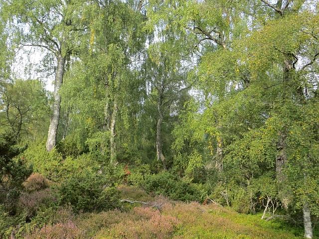 Birch and juniper woods