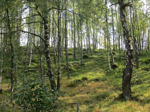 Birch woods near Inverdruie