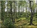NH8910 : Birch woods near Inverdruie : Week 37