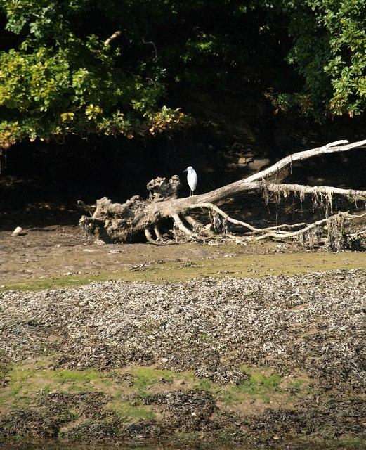 Egret, West Looe River