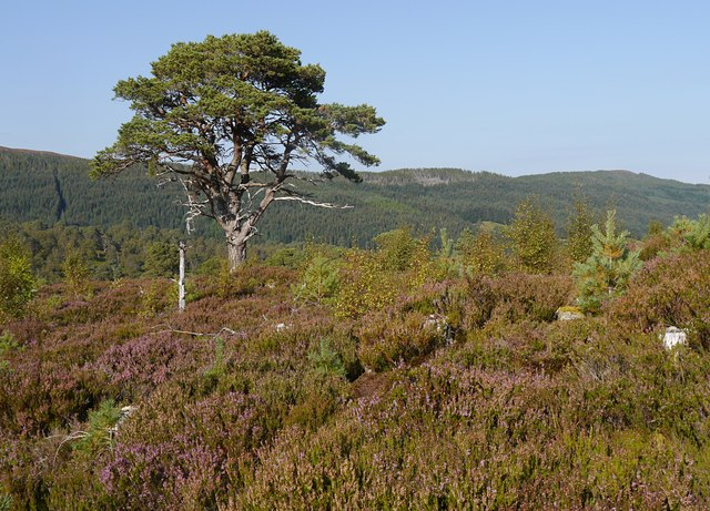 Caledonian forest restoration, by Cougie
