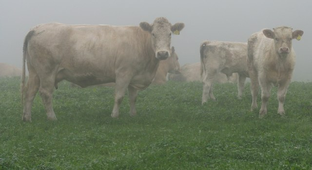 Cows in the mist!