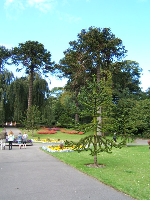 Monkey puzzle trees, Sewerby Hall gardens