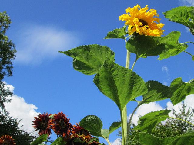 Sunflowers at Shalbourne village, Wiltshire