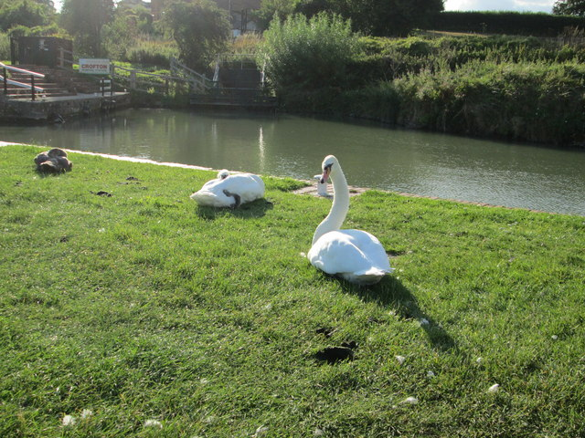 Pair of swans by the Kennet and Avon Canal