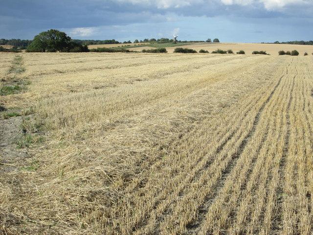 Public footpath across a wheat field
