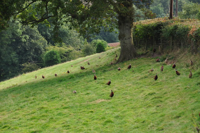 West Somerset : Grassy Field & Pheasants