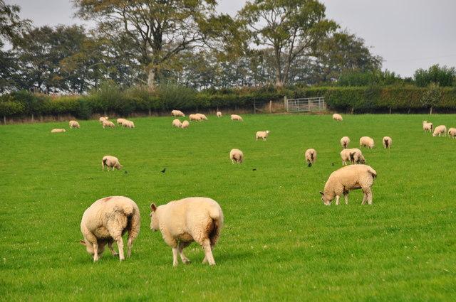 West Somerset : Grassy Field & Sheep Grazing