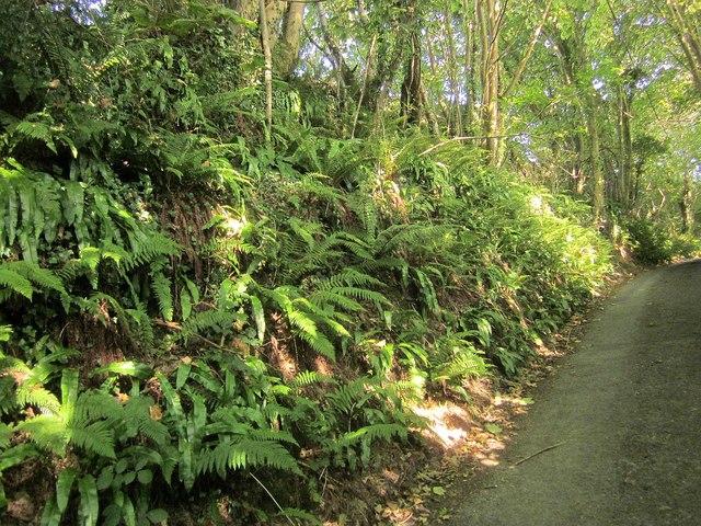 Ferns near Kilminorth Farm