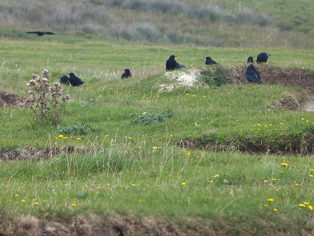 Choughs on the Ardnave peninsula