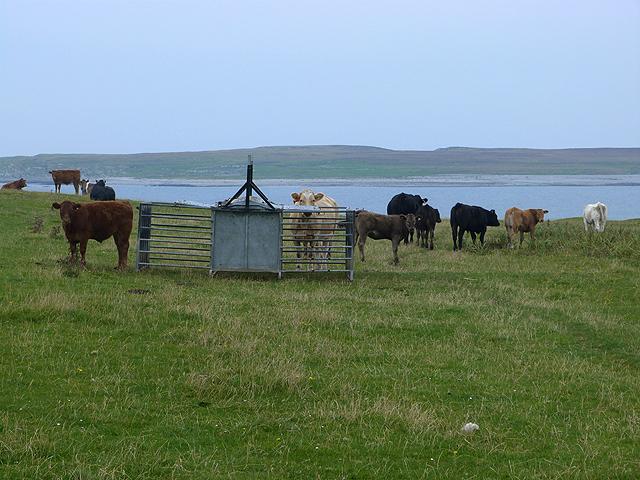 Bullocks on the Ardnave peninsula