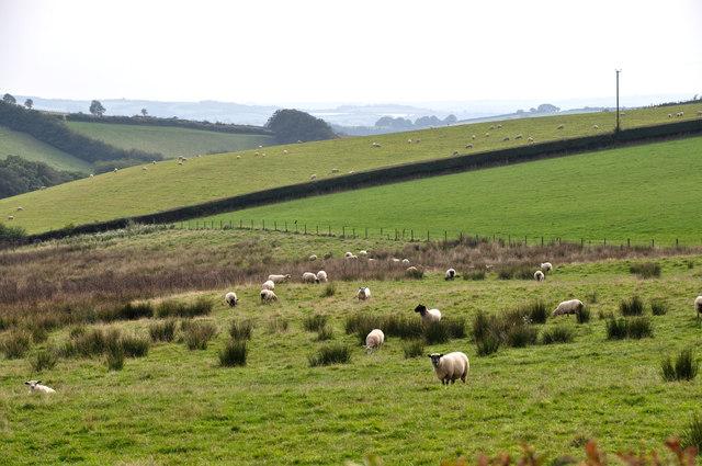 Taunton Deane District : Grassy Field & Sheep