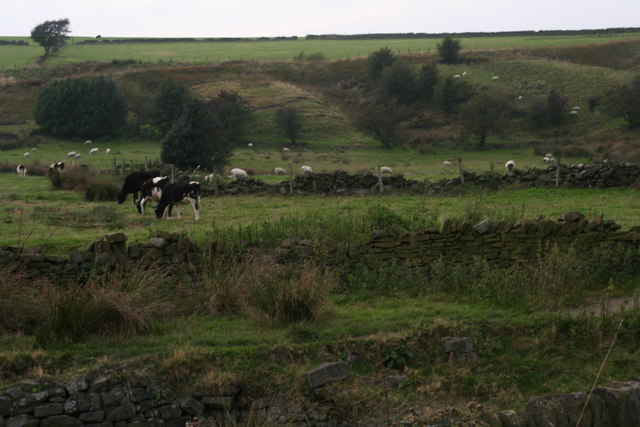 Cattle by Intake Lane