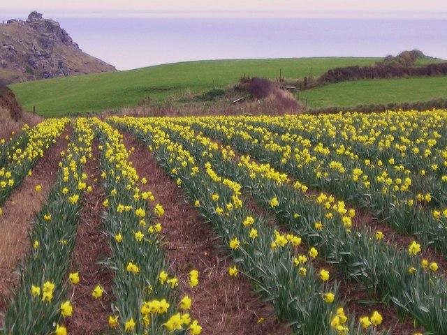Daffodil Crop, Lizard
