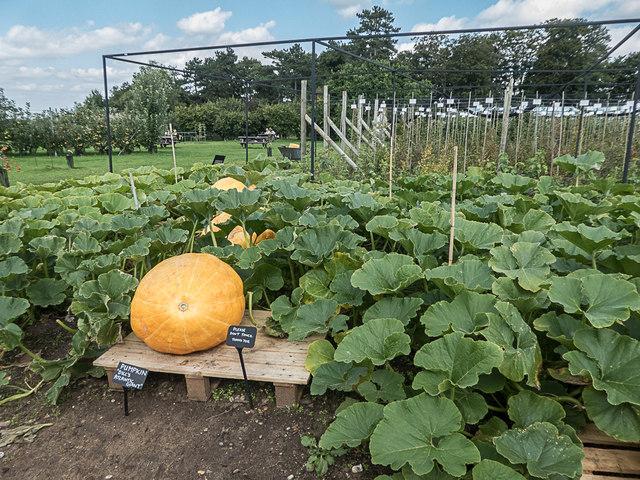 Pumpkin, Royal Horticultural Society Garden, Wisley, Surrey