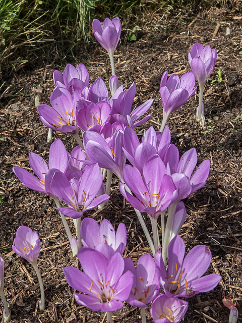 Colchicums, Royal Horticultural Society Garden, Wisley, Surrey