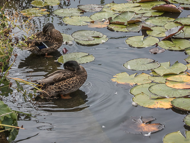 Ducks by Water Lilies, Royal Horticultural Society Garden, Wisley, Surrey