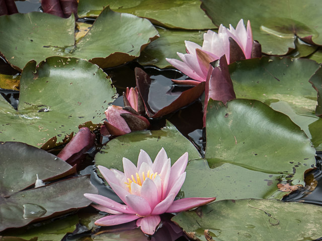 Water Lilies, Royal Horticultural Society Garden, Wisley, Surrey