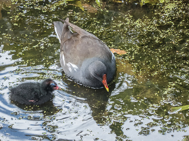 Moorhen and Chick, Royal Horticultural Society Garden, Wisley, Surrey