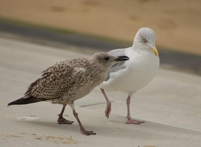 Promenading seagulls, Margate