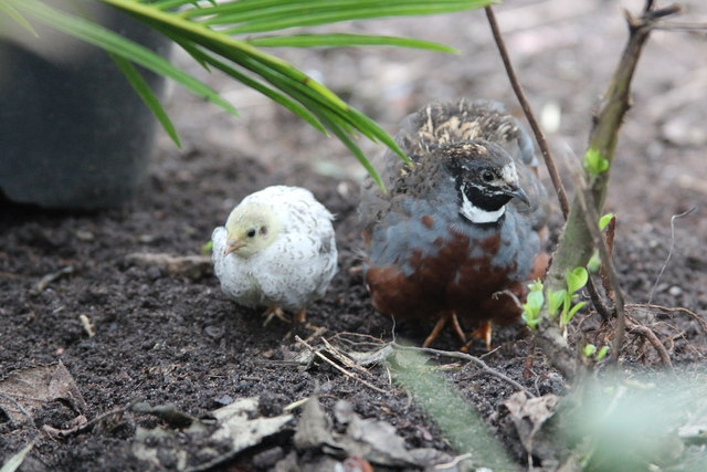 Quails at Stratford-upon-Avon Butterfly Farm