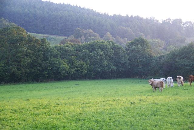 A field of cows in Eskdale