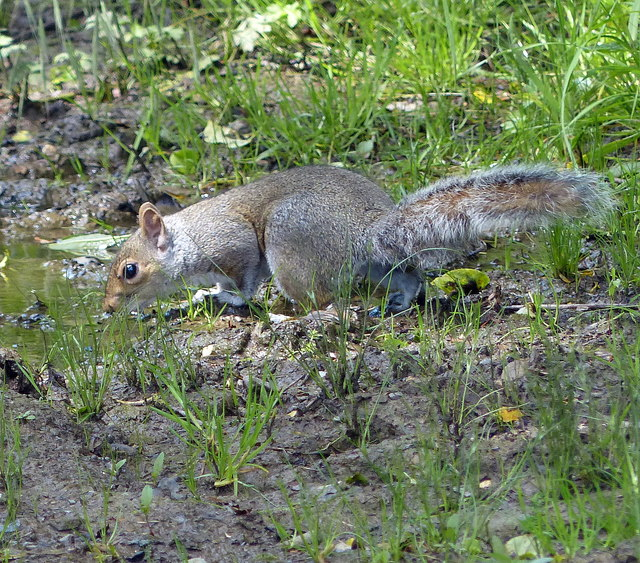 Grey squirrel next to the Fosse Way