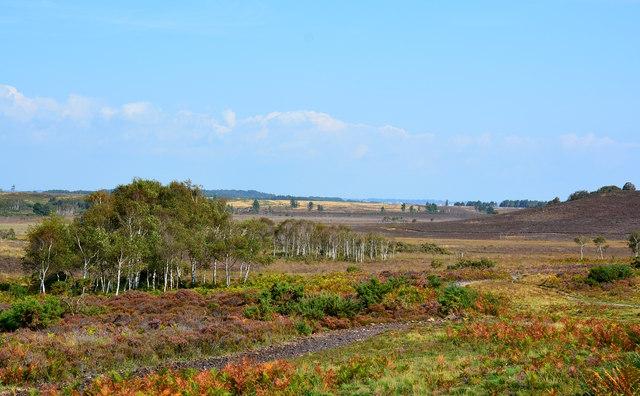 Birch copse on Hartland Moor, Isle of Purbeck, Dorset