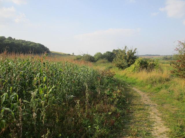 Edge of a maize field near Highnam