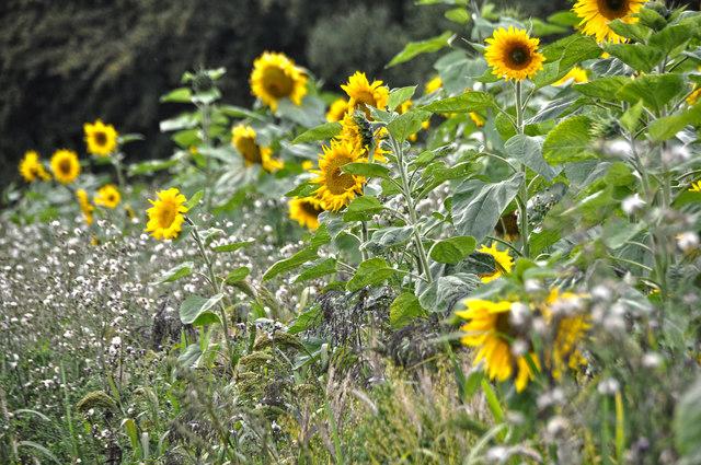 West Somerset : Sunflowers