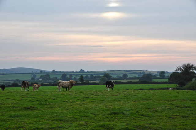 West Somerset : Grassy Field & Cattle