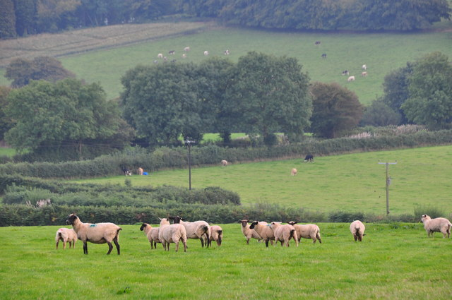 West Somerset : Sheep Grazing