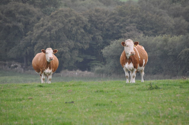 West Somerset : Grassy Field & Cattle