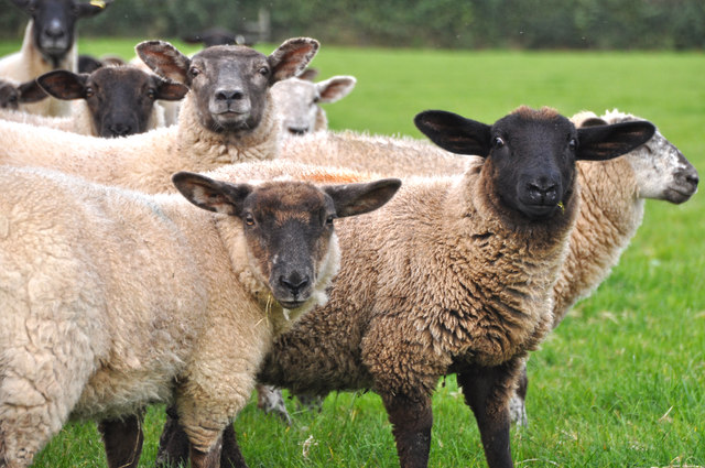 West Somerset : Sheep Grazing