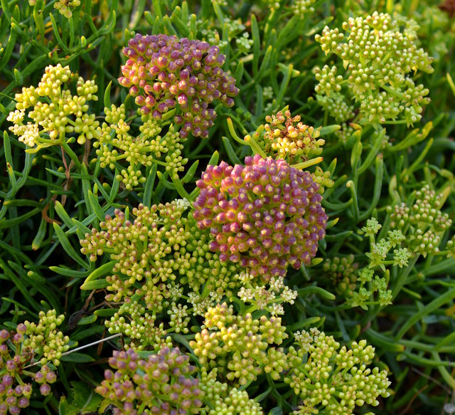 Rock Samphire, Portland Bill, Dorset
