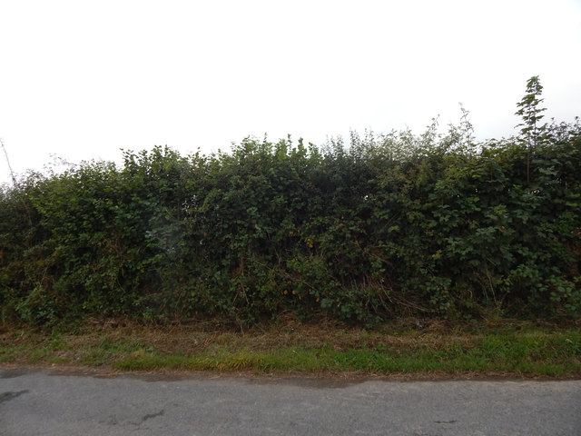 Hedge opposite Sheepridge Farm