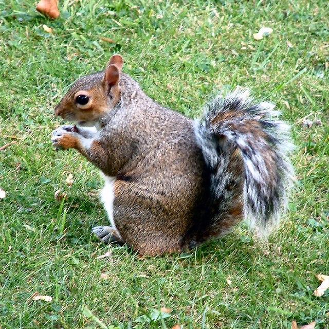 Squirrel at Nottingham Castle