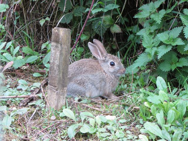 Wild rabbit on the Lower Mill Estate